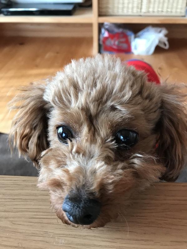 元保護犬トイプードル