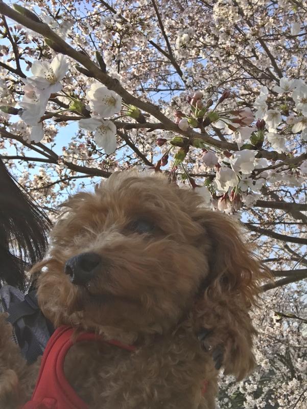 保護犬トイプードルと桜