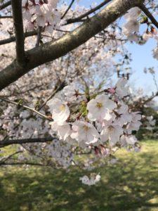 九華公園桜
