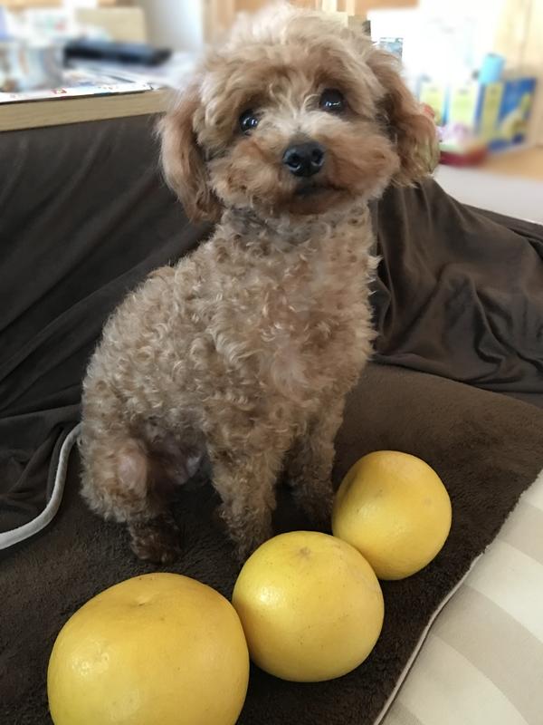 保護犬トイプードル