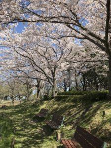 木曽三川公園桜