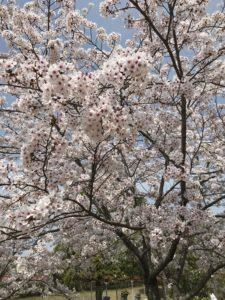 リトルワールド桜