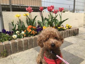 保護犬トイプードルと花壇