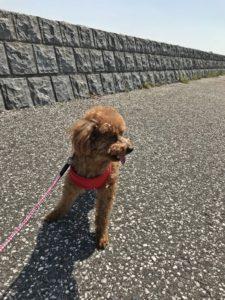 保護犬トイプードル散歩