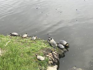三ツ又池公園亀