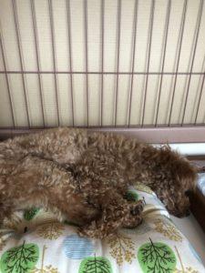 犬座布団で寝る