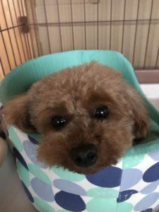 トイプードル元保護犬