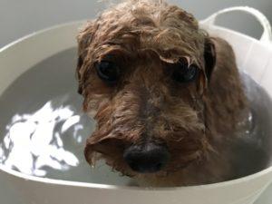 トイプードルのお風呂