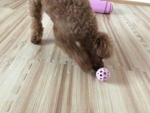 犬のボール遊び