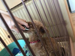 小型犬の歯磨き