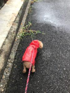 犬の雨の日散歩