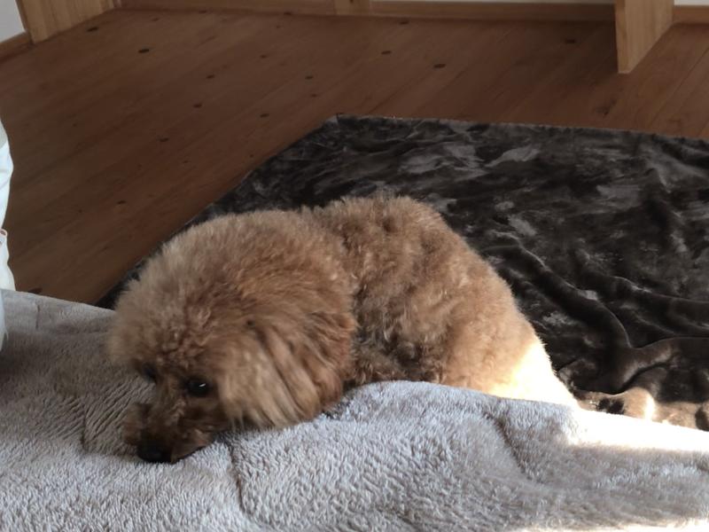ベッドに登れない犬