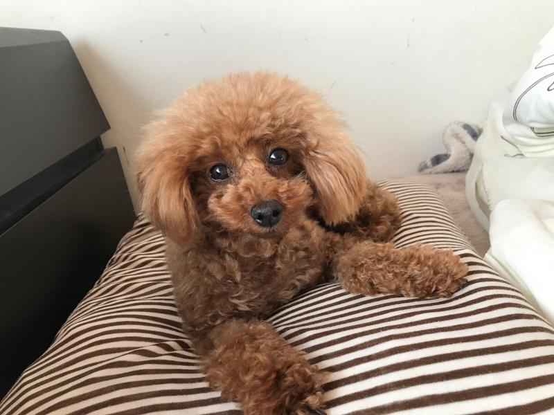 枕の上で寝る犬