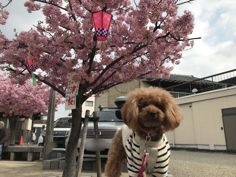 トイプードルと河津桜