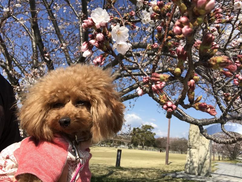 桜が咲き始め