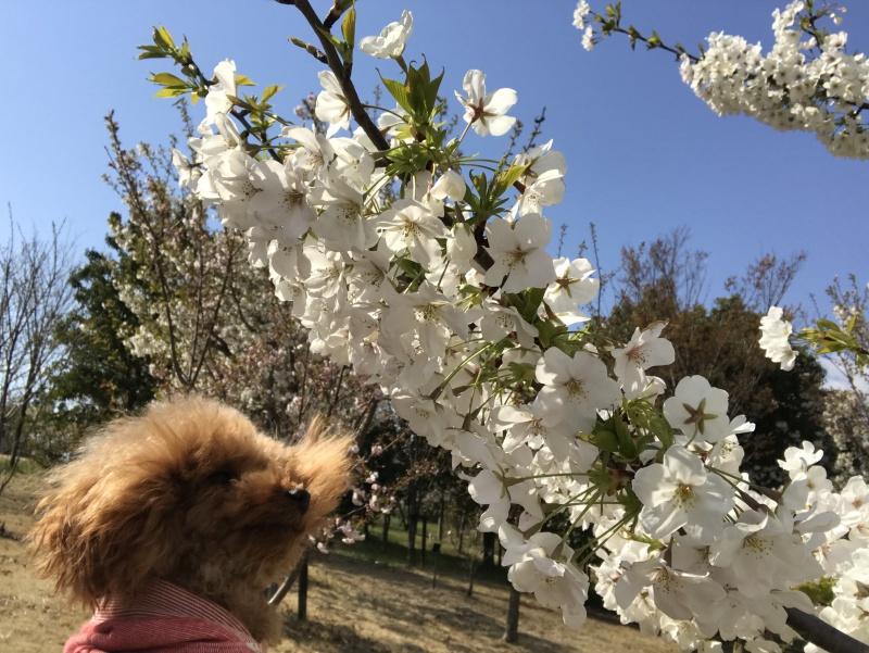 桜トイプードル