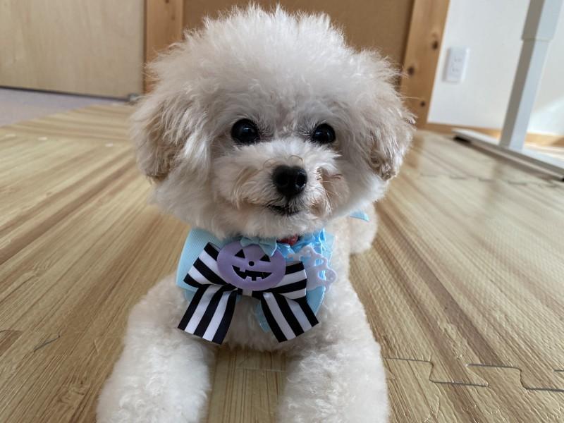ティーカッププードル保護犬