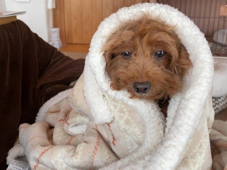 毛布好き犬
