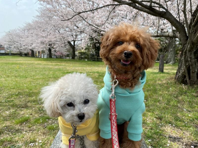桜とトイプードル