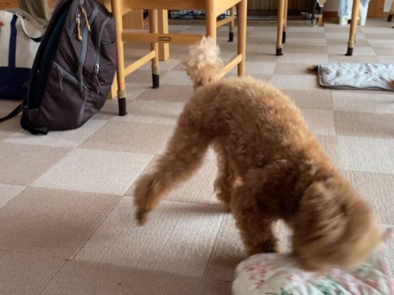 ミトンで遊ぶ犬